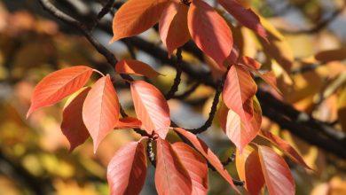 Blätter der Vogelkirsche im Herbst