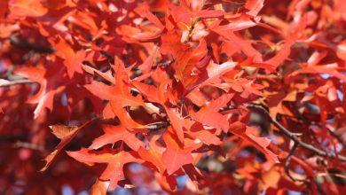 Rote Blätter der Sumpf-Eiche