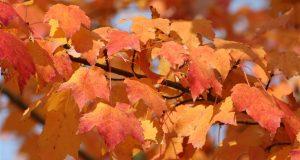 Ahornblätter orange