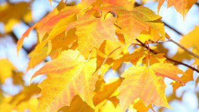 Blätter des Spitzahorn