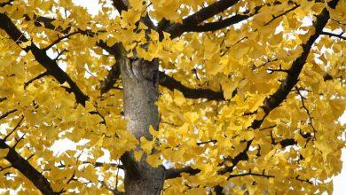 Ginko im Herbst