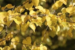 Gelbe Lindenblätter im Herbst