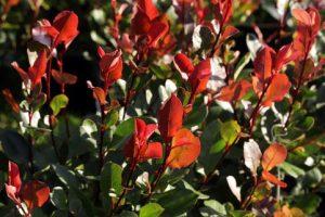 Onlineshop: Glanzmispel 'Little Red Robin'