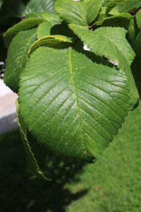 Grünes Lindenblatt