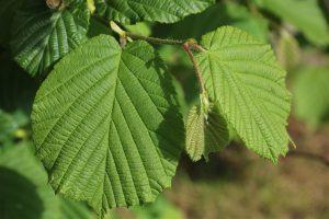 Runde Blätter der Hasel