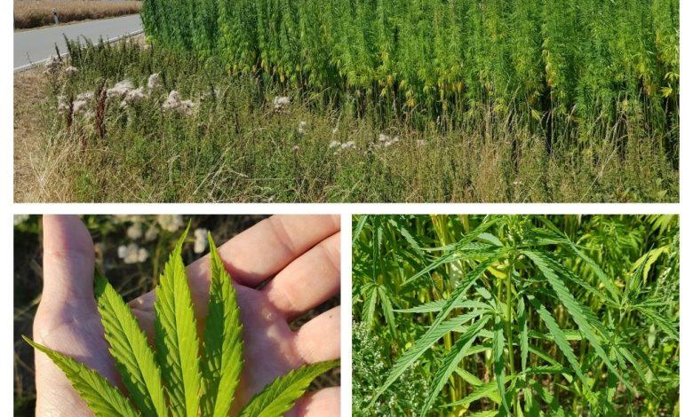 Hanf Cannabis Sativa