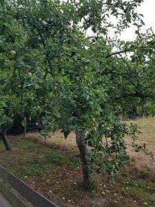 Apfelbaum Geest Niedersachsen