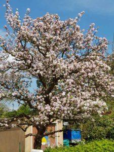 Apfelblüte Hamburg Berne