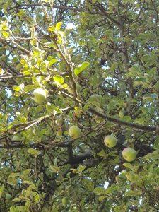Erste Äpfel im April